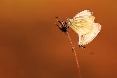 Small White (Pieris napi)
