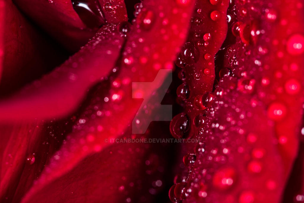 Water Drops on a Rose by itcanbdone