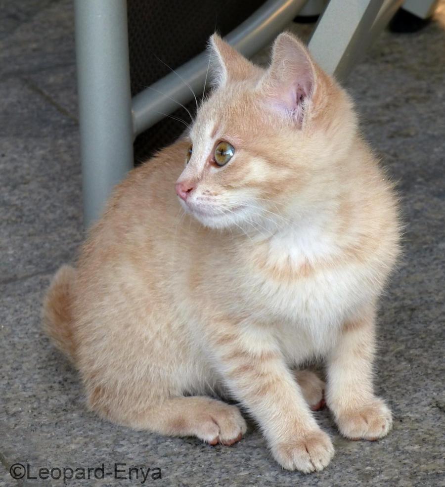 Cream Colored Kitten III By Leopard-Enya On DeviantArt