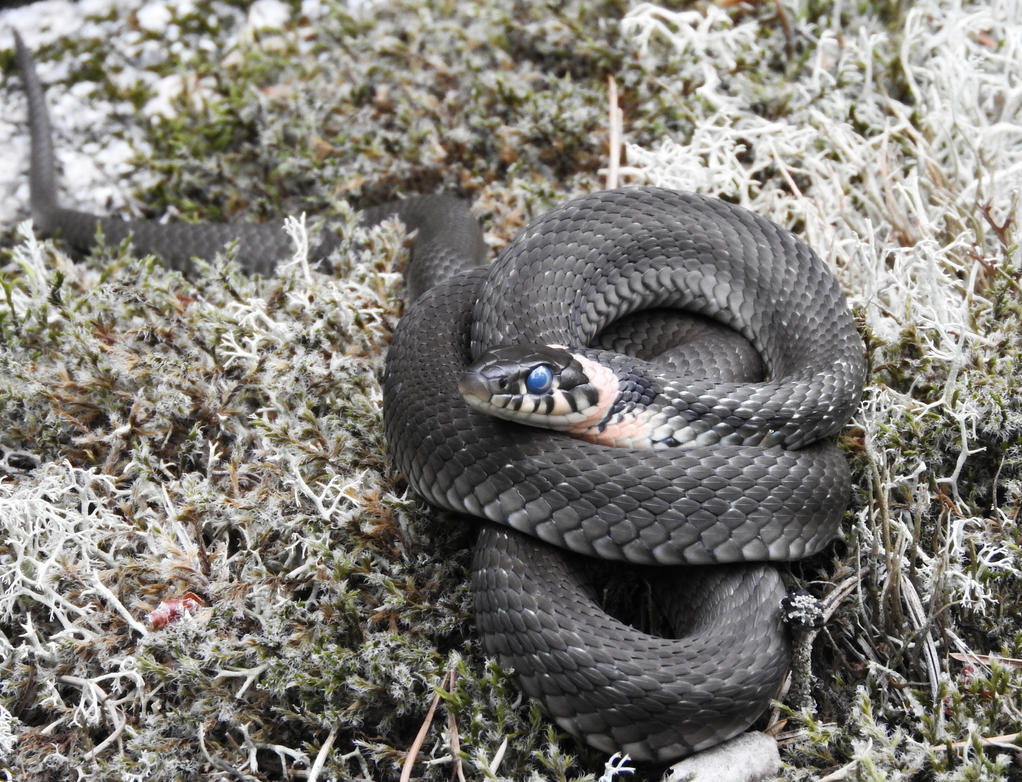 Blind Grass Snake by kaitengiri