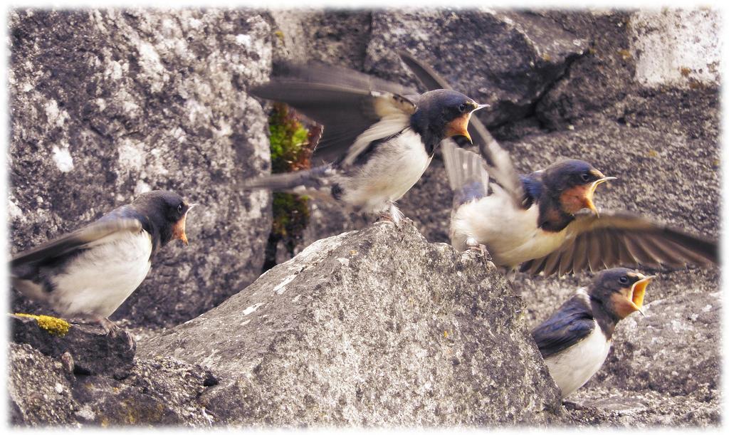 Hungry little Barn swallows by kaitengiri