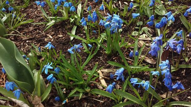 Blue Springtime