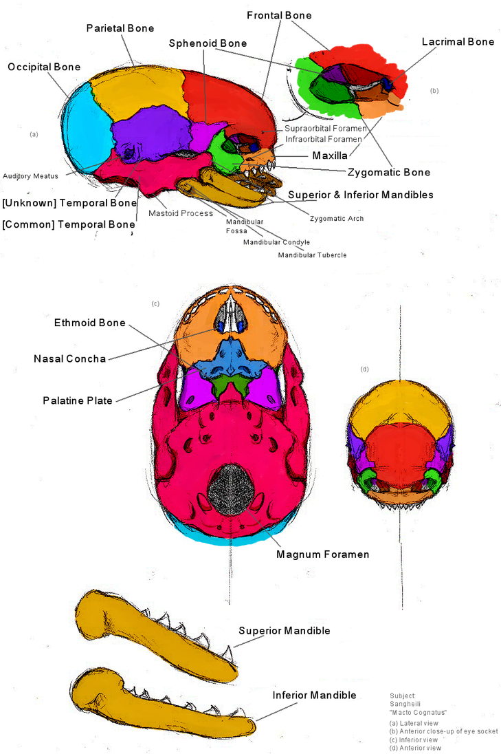 Elite Sketch Skull Anatomy By Kitty Grim Reaper