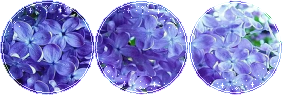 [Image: f2u_decor_lilac__2_by_mairu_doggy-dbk13u4.png]