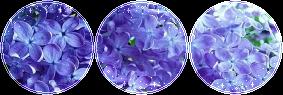 F2U|Decor|Lilac #2 by Mairu-Doggy