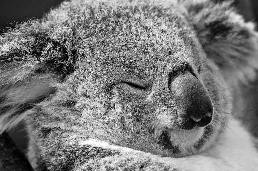 Koala by game-breaker