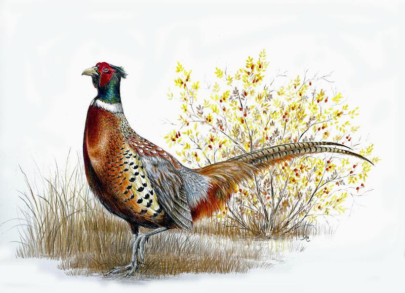 Ring-necked Pheasant b...