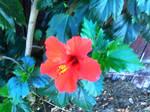 Hibiscusinextremis rouge 1