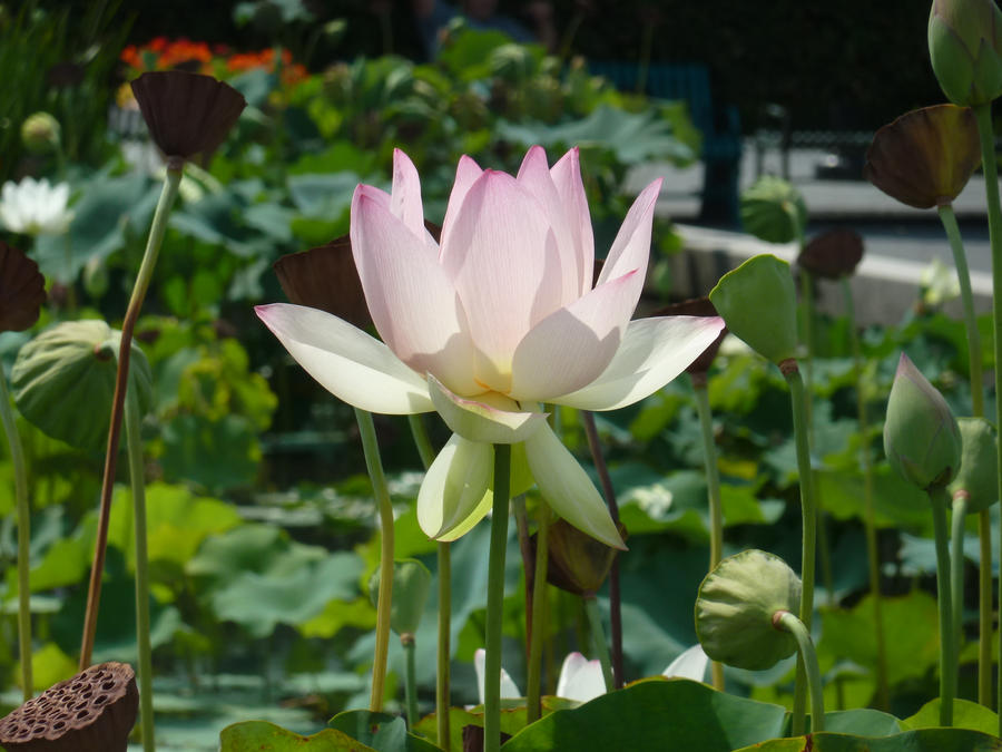 Summer Lily by athenathegreat7