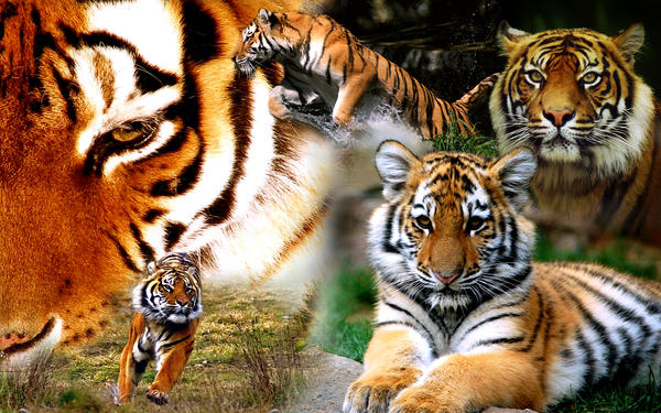 Tiger Wallpaper by AaronsElite
