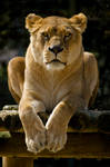 Old Lioness