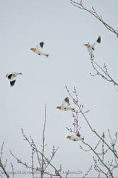 Taking off Snow Buntings by LInconnu24