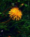 Dandelion by Fl33tingshadoW