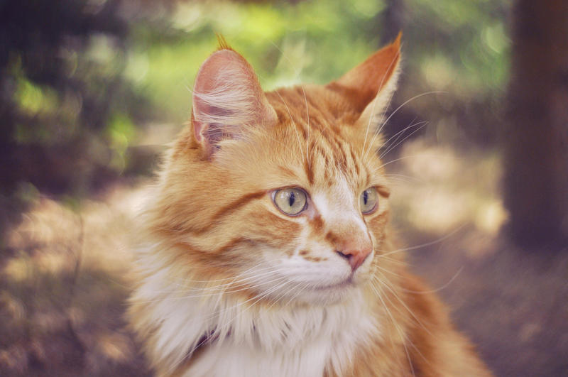 Ginger cat by pepapigo