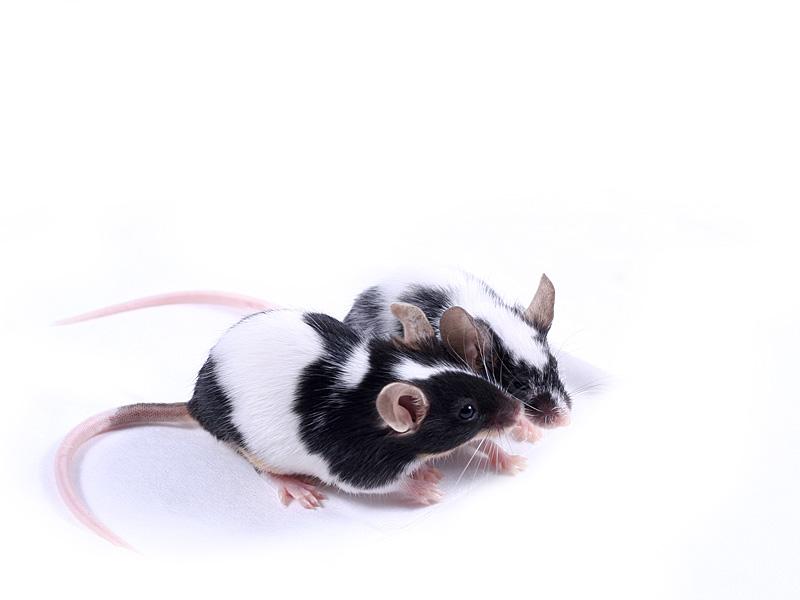 mice in love
