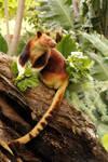 Goodfellows' Tree Kangaroo