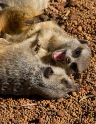 Wrestling Meerkats by SandraChung