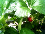How does strawberry grow?
