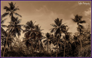 palm trees by JayBee5