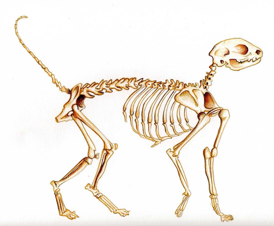 Cat's skeleton by Dark-hell on DeviantArt
