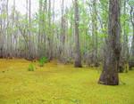 Honey Island Swamp 1