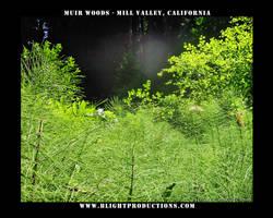 Muir Woods - Mill Valley Ca. 1
