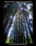 Muir Woods - Mill Valley Ca.10