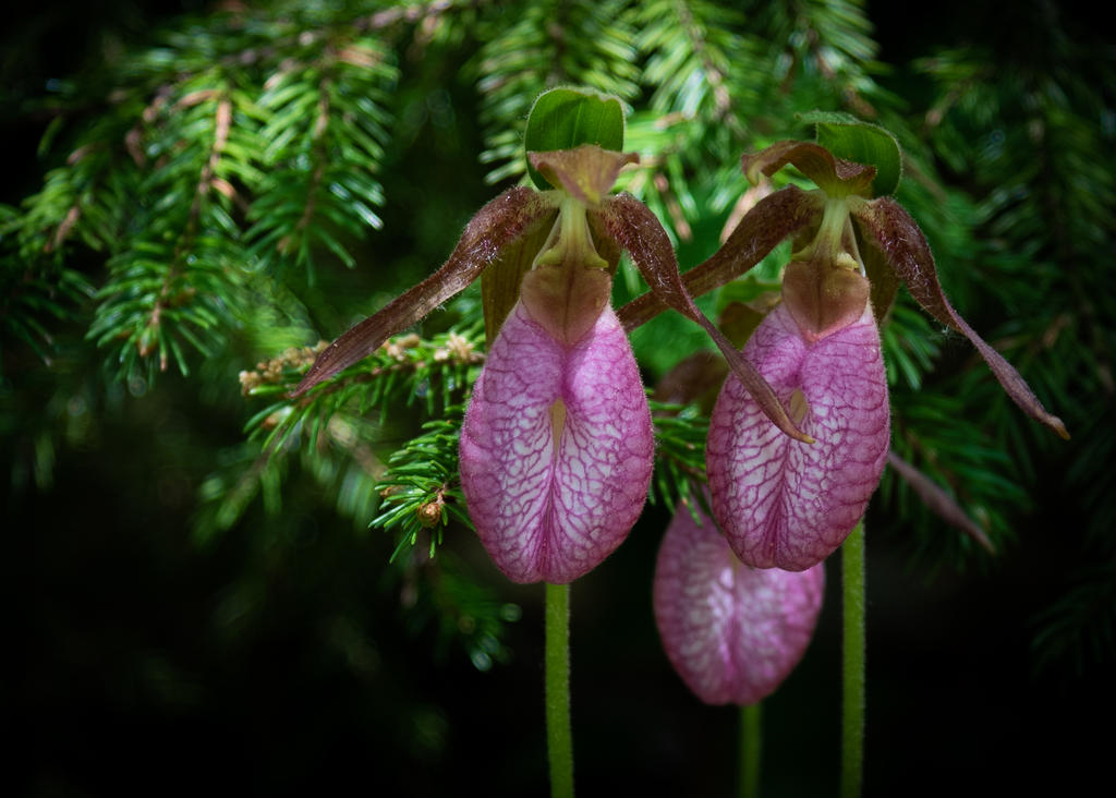 Pink Lady's Slipper Orchid