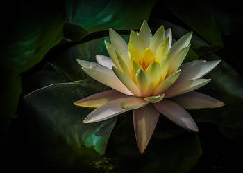 Water Lily 1 by pinestater234