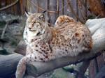 Majestic Lynx rufus by Vedrfoelnir