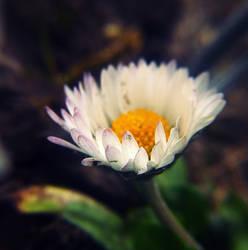 Daisy. by MateuszPisarski