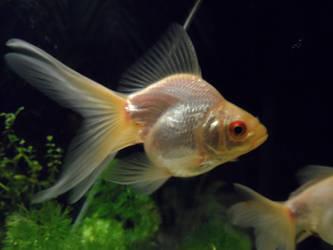 Goldfish Erin by RiseOfInformation