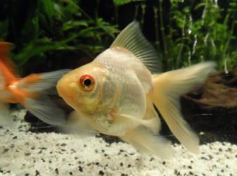 Erin - Goldfish by RiseOfInformation