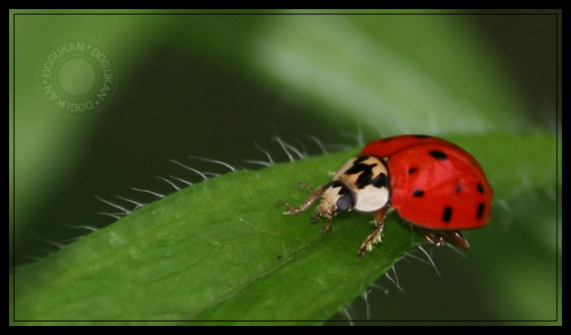 Lady Bug 001 by dogukan