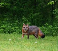 Gray Fox 2 ???? by BekkaLynn