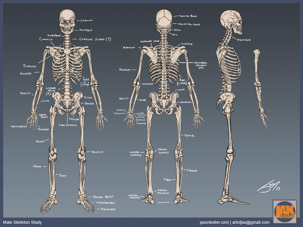 Skeleton Study by jaxeller