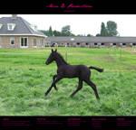 Horse Stock 005 - Friesian