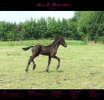 Horse Stock 006 - Friesian