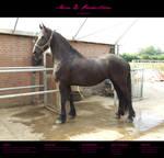 Horse Stock 015 - Friesian