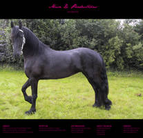 Horse Stock 36 - Friesian by MiszD