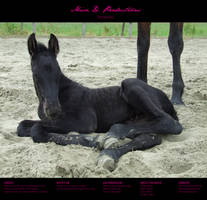 Horse stock 41 - Friesian by MiszD