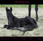 Horse stock 41 - Friesian