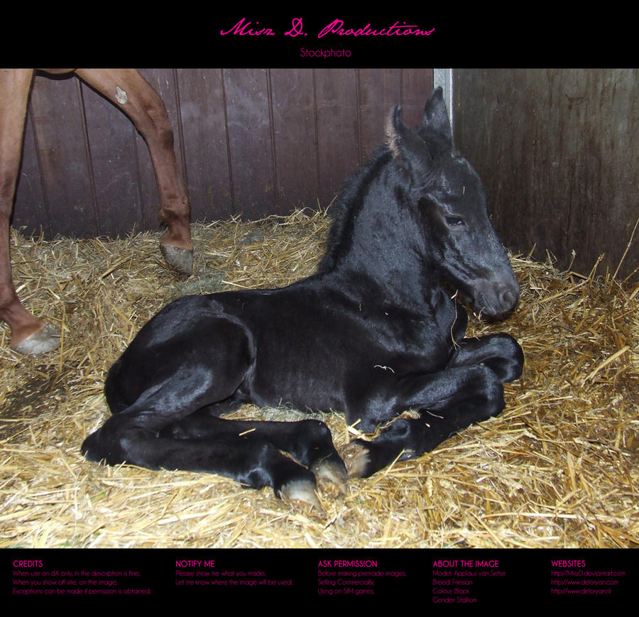 Horse stock 43 - Friesian by MiszD