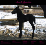 Horse Stock 64 - Friesian