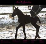 Horse Stock 67 - Friesian
