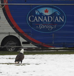 Eagle eyes Canadian Spring by JStCPatrick