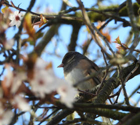 Dark-eyed Junco in a blossom tree by JStCPatrick
