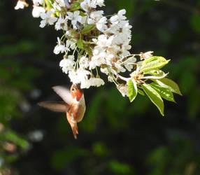 Rufous T. Hummingbird by JStCPatrick