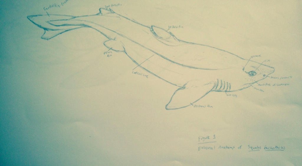 External Anatomy of Spiny Dogfish Shark by Umbra-Nine on DeviantArt
