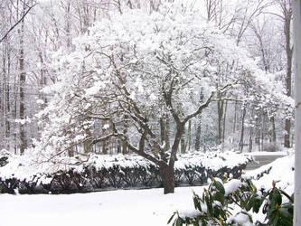Dogwood Tree in Winter by CrystalMizuka